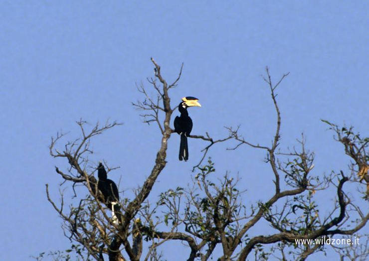 Indian pied hornbill (Anthracoceros malabaricus)