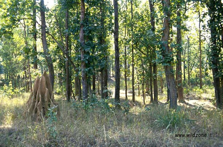 Sal trees (Shorea robusta), termite hill in Kanha National Park