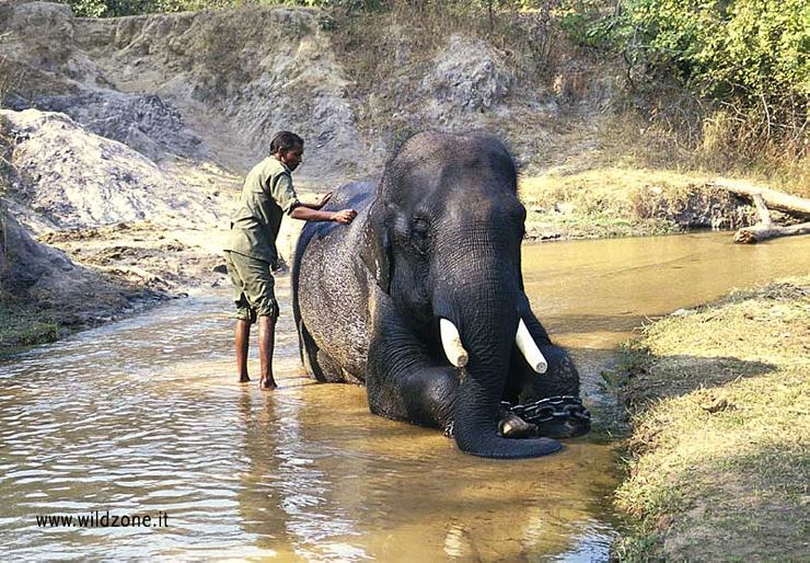 Mahout taking care of his elephant in Bandhavgarh NP