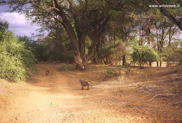 Baboons (Papio anubis) in the Ewaso Ngiro gallery forest