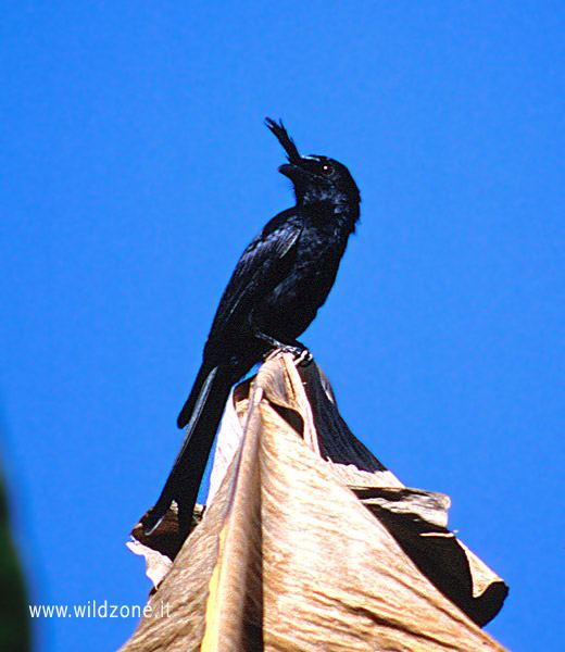 Malagasy crested drongo? (Dicrurus forficatus)