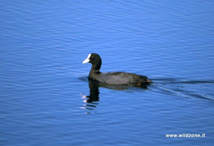 Coot (Fulica atra) Biebrza river National Park - May 1999