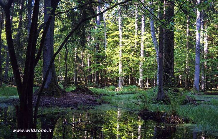 Bialowieza forest strict reserve - May 1999