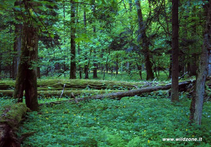 Bialowieza forest strict reserve
