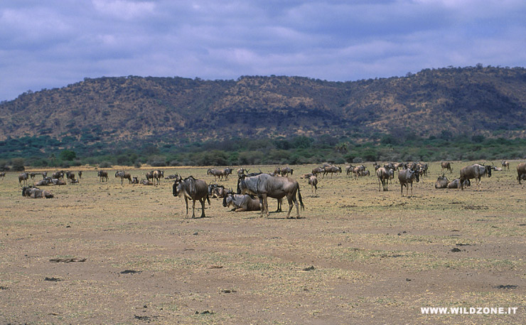 Wildebeests (Connochaetes taurinus)