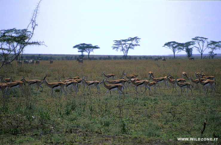 Thomson's gazelles (Gazella thomsoni)