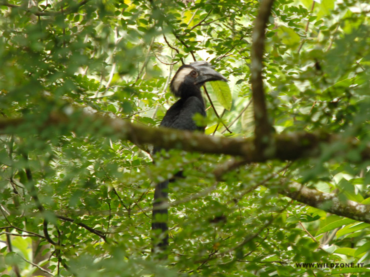 Black hornbill (Anthracoceros malayanus) - Sepilok, Rainforest Discovery Centre