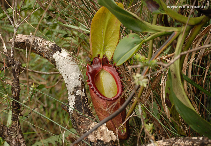 Pitcher-plant (Nepenthes sp.) - Mount Kinabalu National Park