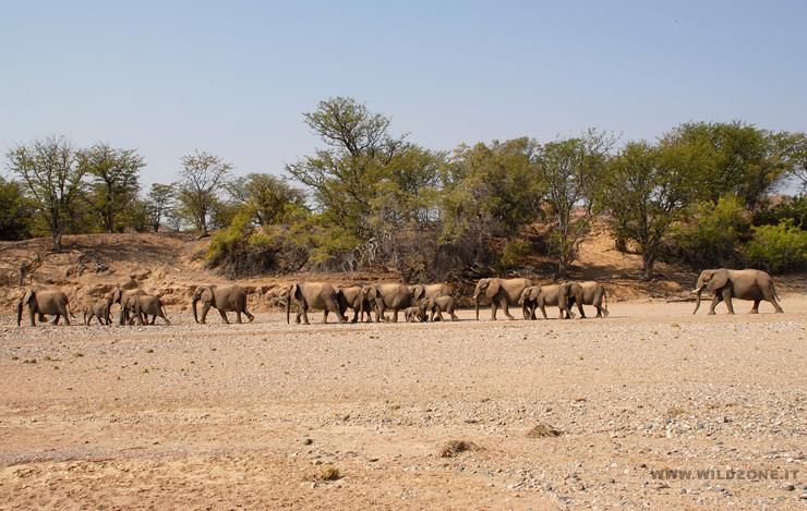 Elefanti del deserto - Letto di un fiume in secca ...