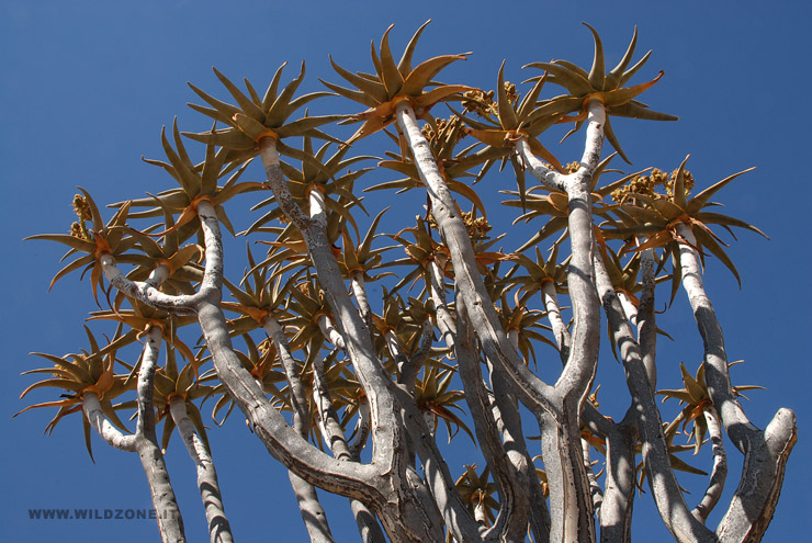 Quiver tree or Kokerboom (Aloe dichotoma)