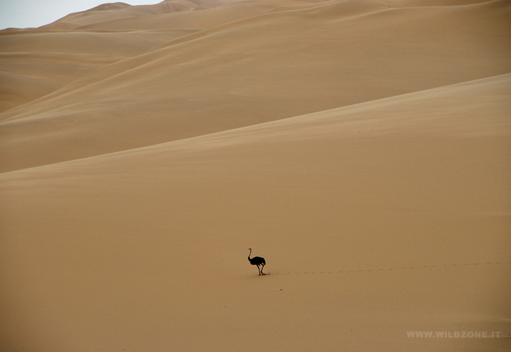 An ostrich on the move across the sand dune sea